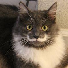 Un gato con los bigotes de Salvador Dalí La genética es la única responsable de la coloración del pelaje y disposición de las manchas en los gatos.