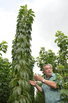 CIAT cassava breeder Hernan Ceballos at an experimental plot of Asparagus Cassava, CIAT HQ, Colombia.  Photo: CIAT