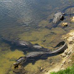 Florida Everglades Alligators