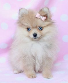 Blue eyed Pomeranian. Just the most adorable!! I love this dog.........
