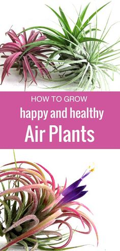 plants don't need any soil to thrive, but they do need more than just air to grow. Air plants don't need any soil to thrive, but they do need more than just air to grow. Find out how to water and care for your air plants. Types Of Air Plants, Air Plants Care, Caring For Air Plants, Low Maintenance Indoor Plants, Air Plant Display, Air Plant Terrarium, Terrariums, Outdoor Plants, Plants Indoor