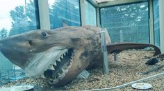 Remember that creepy shark left abandoned for years in a closed down animal sanctuary in Victoria? The Great White, Great White Shark, Animal Cartoon Video, Animal Tumblr, Wildlife Park, Elephant Art, Funny Animal Memes, Shark Tank, Animal Crafts