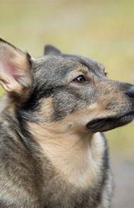 Swedish Vallhund Dog Breed Picture