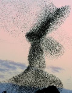 A huge flock of Starlings. @Fritillaria I never realized they flew in formations like this!   Looks like a kneeling angel.