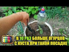 10 times more cucumbers from the bush during such cultivation Summer House Garden, Home And Garden, Small Farm, Vegetable Garden, Soda, Vegetables, Plants, Youtube, Gardening