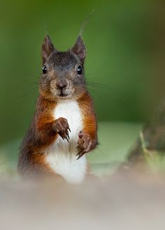 Cute squirrel by Adamec