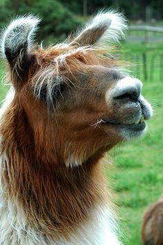 Llama by cheetah100, via Flickr