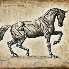 Anatomical engraving of a horse
