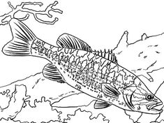 Bass Fish, Guadalupe Bass Fish Coloring Pages: Guadalupe Bass Fish Coloring PagesFull Size Image Fish Coloring Page, Coloring Book Pages, Printable Coloring Pages, Coloring Sheets, Sea Colour, To Color, Coloring Pages For Teenagers, Photos Of Fish, Rainbow Fish