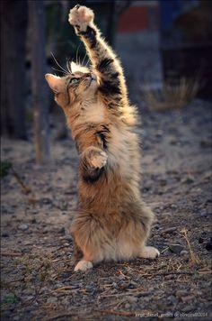 magicalnaturetour:  I want it . by Jorge Gomez de Oliveira~ Happy Caturday!