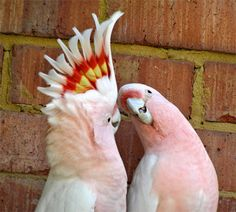 Major Mitchell pink cockatoos