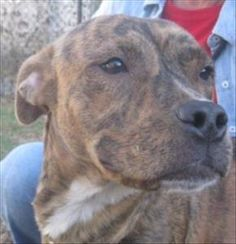 This girl is so loving and sweet. Very quick to learn and will adjust easily to most any home. She is good with dogs, cats and children. Primary Color: Brindle Weight: 46 Age: 1yrs 0mths 0wks