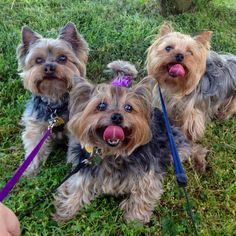 Yorkshire Terriers. So neat how expressive their faces are. (Only a Yorkie lover would gaze on their faces.)