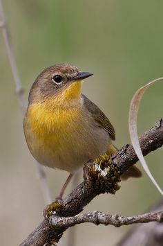 The female Common Yellowthroat, in my experience even harder to spot than the brightly colored male.  This photo was taken in April 2010, at the Ridgefield NWR.