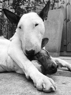 Bull terriers cuddling