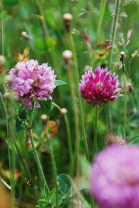 Red Clover is NOT just for healthy women who want to conceive it is for ALL women who want toconceive.
