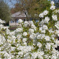 Proven Winners - Snow Day® Surprise - Pearl-bush - Exochorda hybrid white plant details, information and resources. Spring Flowers, White Flowers, White Plants, Flower Show, Front Yard Landscaping, Beautiful Gardens, Shrubs, Garden Design, Snow
