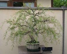 Large Willow Bonsai