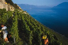 Grape harvesting time in Rivaz - Switzerland (Ph. by Stephan Engler) Victory Garden, Fall Winter, Autumn, Farmers, Switzerland, Harvest, Ph, Gardening, World