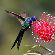 Beija-flor Tesoura - Swallow-tailed Hummingbird (Eupetomena macroura) by claudio.marcio2, via Flickr