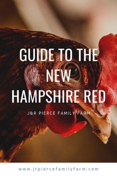 The New Hampshire Red chicken breed is one of the most popular you can raise - but why? Learn all the reasons why this dual-purpose chicken is the one you should have in your backyard chicken coop. Backyard Chicken Coops, Chickens Backyard, Backyard Patio, Keeping Chickens, Raising Chickens, Raised Garden Beds, Raised Bed, Red Chicken, Raising Goats