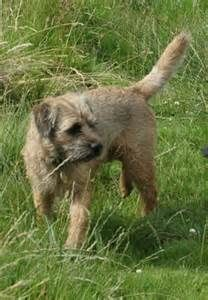 A Border Terrier's more likely to die in an accident than of old age, so be prepared to shield him from himself.