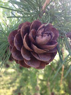 Pine cone Pine Cones, Plants, Flora, Plant, Planting, Pine Cone