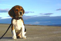 Rex: un beagle austral. Publicamos texto y fotos que en su día nos enviara Mario Maldonado (Punta Arenas, Chile) de su cachorro Rex, un ejemplar de beagle sin manchas blancas en la cara, al que sus dueños lo tienen restringido a la zona de la logia de la casa.  #FotosdePerrosbeagle