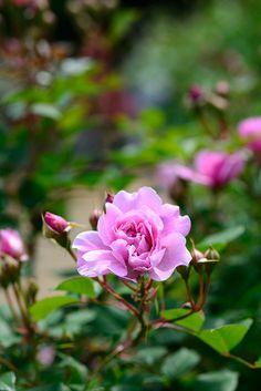 2012 Spring rose; Sister Elizabeth by shinichiro