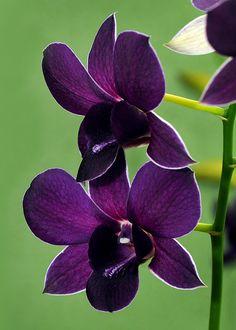 Orchidea - Dendrobrium