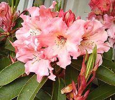 Rhododendron 'Tahitian Dawn'