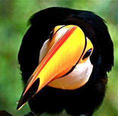 Toucan . Costa Rica