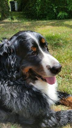 Swiss Mountain Dogs, Bernese Mountain, Big Dogs, Bliss, Eye Candy, Dog Cat, Pets, Friends, Board