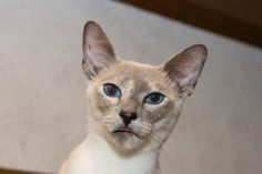 Blue Tortie Point Siamese Cat