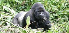 Silverback mountain gorilla.