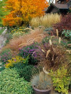 Gorgeous perennial and grass front entry garden in the fall. Yellow goldenrod, purple asters, grass seedheads, dark red barberry and more...
