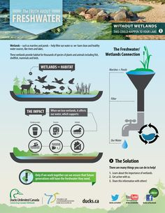 #Food #Infographics - The Truth About Fresh Water Without Wetlands #Infografia