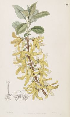 Forsythia viridissima. Edwards's Botanical Register, vol.33- t.39 (1847) [Miss. Drake]