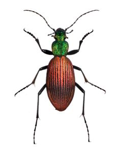Metallic Ground Beetle (Ceroglossus chilensis) from The Evolution Store