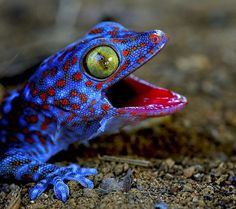 The Incredibly Mean! Tokay Gecko