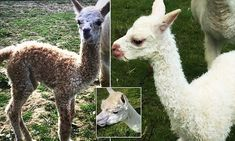 Murdered alpacas may be warning in planning dispute