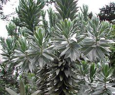 Leucadendron argenteum - 'silverleaf'
