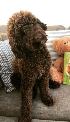 Brown Labradoodle, Cute Dogs, Animals, Animales, Animaux, Animal Memes, Animal, Funny Dogs, Animais