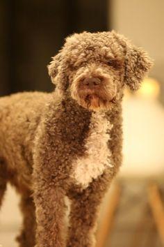 Lagotto Romagnolo Hundefotos, Hunde fotos und Hundeverhalten