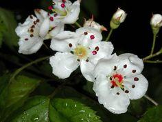 200305240210 Hawthorn tree flower (Crataegus L. White Roses, White Flowers, Apricot Blossom, Tree Leaves, Trees And Shrubs, Native Plants, East Side, Sunset, Yard