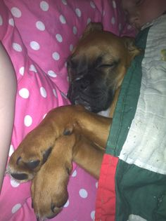 Boxer puppy sleeping. They're just like having a baby in the house.