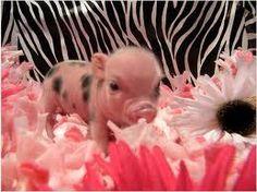 Pink baby teacup pigs - photo#17