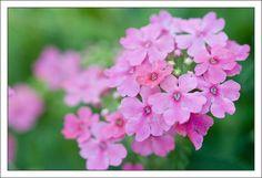 12 flores resistentes de jardín