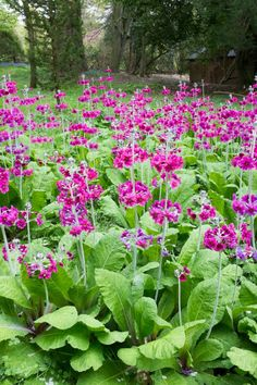 Primula: woodland at Mount Stewart