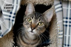 Jacob a Brown Tabby Kitten for Adoption - please note that the photo is mislabeled :-)
